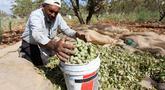 Petani Palestina Abdullah Hanni mengumpulkan badam hijau di Desa Beit Furik, Nablus timur, Tepi Barat (9/7/2020). Buah badam merupakan buah yang dihasilkan oleh pohon Prunus dulcis. (Xinhua/Nidal Eshtayeh)