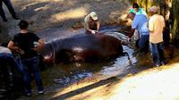Gustavito, kuda nil yang tewas akibat diserang di kebun binatang El Salvador (Kementerian Kebudayaan El Salvador)