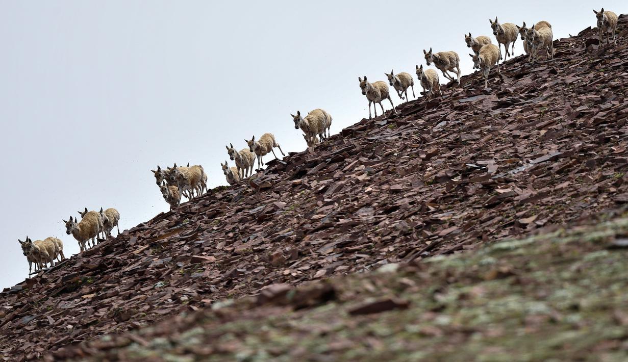 """Kawanan antelop Tibet di dekat Danau Zonag di cagar alam nasional Hoh Xil, Provinsi Qinghai, China barat laut (14/7/2020). Danau Zonag di Hoh Xil dikenal sebagai """"ruang melahirkan"""" bagi spesies tersebut. (Xinhua/Zhang Long)"""