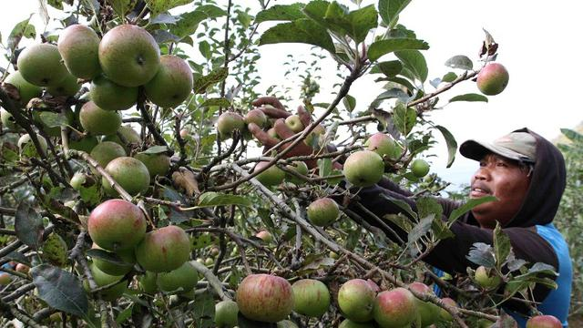 Hasil gambar untuk pemangkasan pohon apel