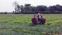 Petani bawang merah di sejumlah Kecamatan di Kabupaten Brebes mulai memasuki masa panen raya, Kamis (17/11/2016).