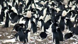 Sejumlah penguin yang berada di koloni pengembangbiakan di Pulau Heroina, Danger Islands, Antartika (2/3). Di sebuah pulau Antartika terpencil ini terdapat sekitar lebih dari 1,5 juta penguin langka. (Michael Polito / Louisiana State University / AFP)