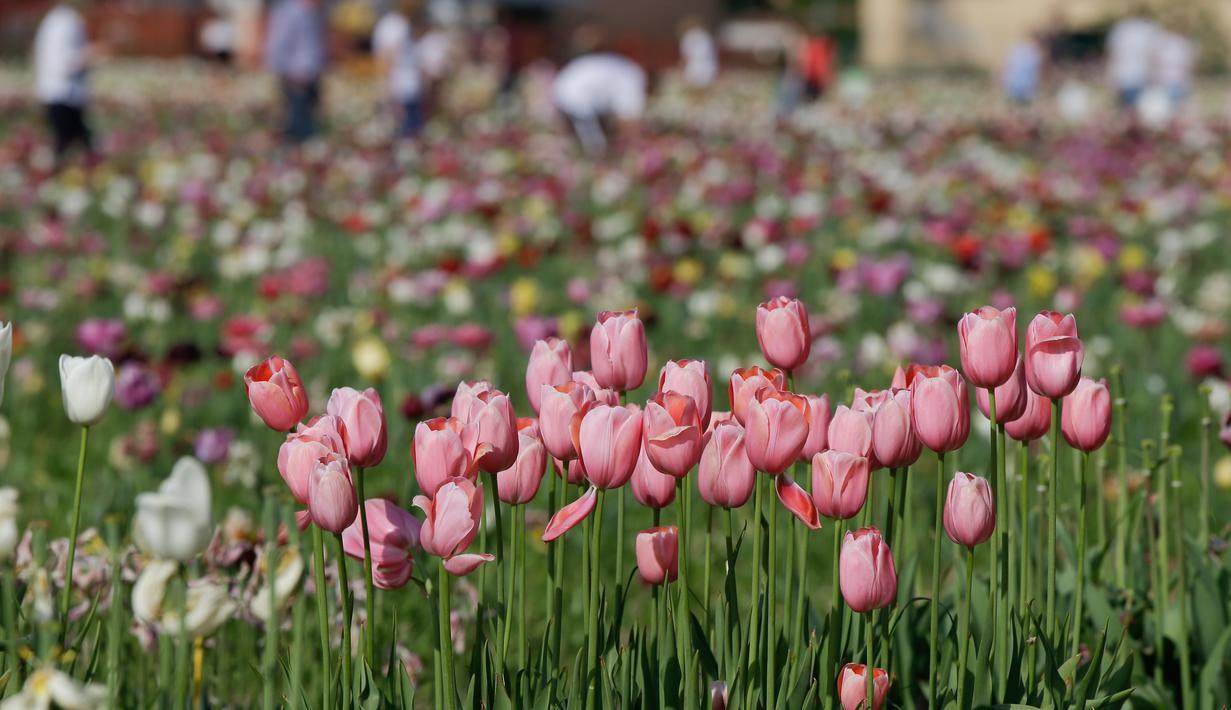 Foto Saat Bunga Tulip Merekah Di Milan Global Liputan6 Com