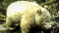 Panda albino (kredit: Cagar Alam Nasional Wolong, Sichuan, China)