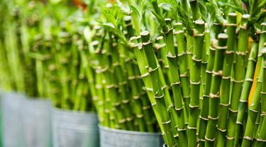 Ilustrasi Tanaman Bambu