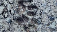 Warga hanya mendengar sapi dan kambing peliharaannya memekik malam-malam. Setelah dicek, ada jejak harimau Sumatera di lokasi kejadian. (Liputan6.com/M Syukur)
