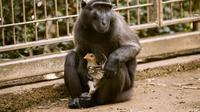 Momen kedekatan monyet dan ayam di kebun binatang Israel (AFP)
