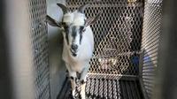 Sekelompok mahasiswa di South Carolina kerepotan memelihara kambing di kampus.