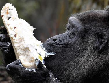 Gorila Fatou