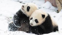 Dua ekor panda raksasa asyik bermain usai salju turun di Pusat Konservasi dan Penelitian Panda Raksasa China basis Shenshuping di Cagar Alam Nasional Wolong, Provinsi Sichuan, China (17/12/2020). Cagar Alam ini merupakan kawasan perlindungan di Kabupaten Wenchuan. (Xinhua/Jiang Hongjing)