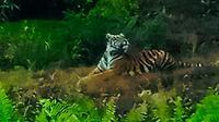 Harimau Sumatra yang pernah terpotret petugas BBKSDA Riau di perkebunan masyarakat. (Liputan6.com/Dok BBKSDA Riau/M Syukur)