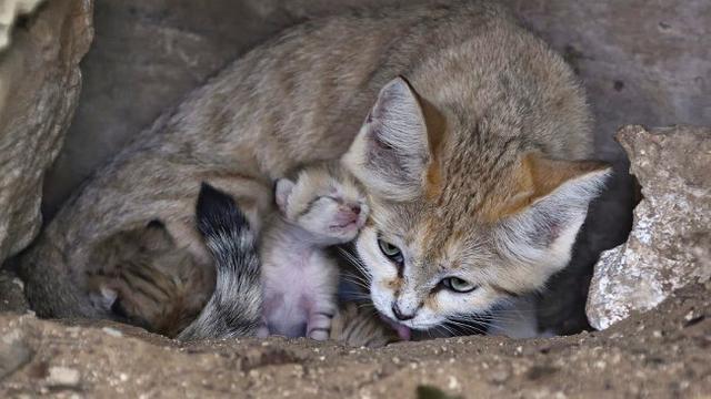 Sand Cat, Spesies Kucing Langka Melahirkan 3 Anak - Global