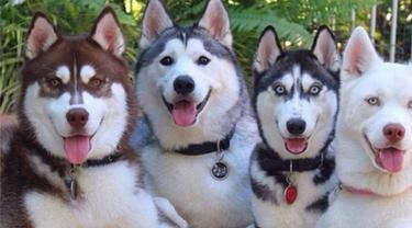 Lovely Dan Keren Kuartet Siberian Husky Ini Jadi Idola Di Instagram Lifestyle Fimela Com