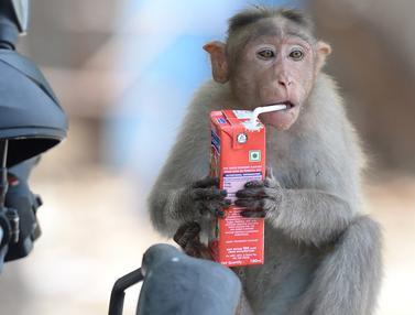 Potret Tingkah Lucu Monyet Saat Musim Panas