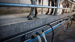 Selang-selang penyedot susu dipersiapkan di peternakan, Tantehue, Chili (17/1). Susu keledai dipercaya bisa mengurangi kerutan, menghaluskan, dan menjadikan kulit lebih cerah. (AFP PHOTO / Kristen Miranda)