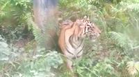 Harimau sumatra yang menampakkan diri di bawah pipa minyak Taman Nasional Zamrud, Siak. (Liputan6.com/M Syukur)