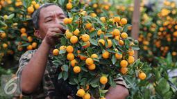 Seorang pedagang mengecek jeruk jenis Kumquat dan Chusa yang di impor dari Cina di Jakarta, Rabu (27/1). Permintaan Jeruk asal Cina tersebut meningkat 100 % menjelang imlek. (Liputan6.com/Angga Yuniar)