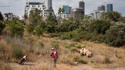 Penggembala mengawasi sekelompok kecil domba saat merumput di sebuah ladang yang berada di antara gedung pencakar langit Tel Aviv, Israel, Senin (28/5). (AP Photo/Oded Balilty)