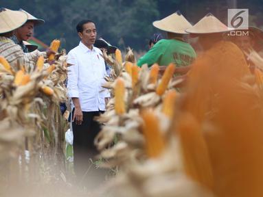 Presiden Joko Widodo (Jokowi) memanen jagung bersama petani saat panen raya jagung di Perhutanan Sosial, Ngimbang, Tuban, Jawa Timur, Jumat (9/3). Jokowi didampingi Ibu Negara Iriana, serta sejumlah menteri Kabinet Kerja. (Liputan6.com/Angga Yuniar)