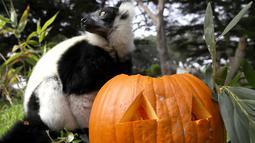 Lemur lorek hitam-putih berdiri di samping labu yang diletakkan dalam kadang Kebun Binatang San Francisco, California, 26 Oktober 2018. Lemur di kebun binatang itu menerima labu berisi kudapan untuk merayakan Halloween. (Justin Sullivan/Getty Images/AFP)