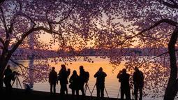 Sejumlah fotografer berbaris di sepanjang tepi Tidal Basin di Washington untuk memotret pohon sakura  yang bermekaran saat matahari terbit, (5/4). (AFP Photo/Saul Loeb)