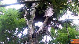 Citizen6, Majalengka: Desa Jagasari, Kecamatan Cikijing, Kabupaten Majalengka, terdapat fenomena aneh, pohon kelapa bercabang delapan dan sudah berumur puluhan tahun. (Pengirim: Syaeful Anwar)