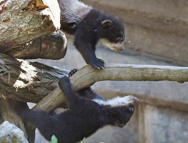 Bayi Beruang Andes