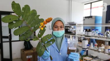 Peneliti menunjukkan daun ketepeng dan ektrak daun ketepeng di Pusat Penelitian Kimia LIPI Puspitek, Serpong, Tangerang Selatan, Jumat (8/5/2020). Penemuan daun ketepeng dan benalu secara komputasi aktif menghambat virus Covid-19. (Liputan6.com/Fery Pradolo)