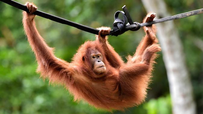 Orangutan bernama Keupok Rere berayun pada tali saat dilepasliarkan di Cagar Alam Hutan Pinus Jantho, Aceh Besar, Selasa (18/6/2019). Sampai saat ini BKSDA Aceh dan SOCP sudah melepasliarkan 121 individu di Cagar Alam Hutan Pinus Jhanto. (CHAIDEER MAHYUDDIN/AFP)