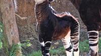 Bayi betina okapi dan induknya memakan daun di dalam kandang Kebun Binatang Los Angeles, Selasa (23/1). Okapi merupakan mamalia Afrika yang kulitnya menyerupai zebra di bagian kaki dan spesies hewan ini juga dekat dengan jerapah. (AP Photo/Richard Vogel)