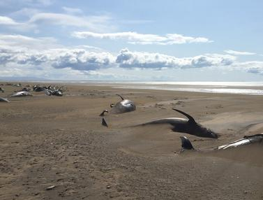 Terdampar, 50 Paus Pilot Mati di Pantai Islandia