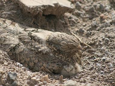 Nama burung ini Nightjar Mesir (Caprimulgus aegyptius), yang berasal dari Asia barat daya dan Afrika utara. Warna bulunya yang sama persis dengan lingkungannya membuat dirinya bisa santai berjemur. (boredpanda.com)