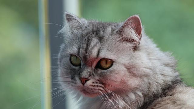 Ilustrasi kucing persia |  Carolina Castilla Arias dari Pexels