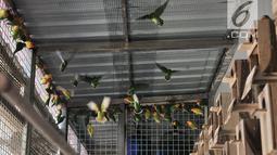 Peternak saat bermain dengan burung lovebird di sebuah peternakan kawasan Duren Sawit, Jakarta, Minggu (23/9). Burung lovebird memiliki harga jual mulai Rp 200 ribu hingga Rp 500 juta. (Merdeka.com/Iqbal Nugroho)