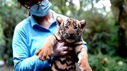Penjaga kebun binatang menggendong anak harimau China Selatan di Kebun Binatang Shanghai di Shanghai, China timur (28/8/2020). Kebun Binatang Shanghai meluncurkan kampanye publik untuk memberikan nama kepada keempat anak harimau betina yang lahir pada 4 Juli 2020 tersebut. (Xinhua/Zhang Jiansong)