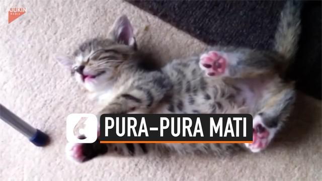 Tingkah menggemaskan dilakukan anak kucing ini. Ia pura-pura mati agar kucing lainnya berhenti mengganggunya.