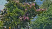 Bunga Tabebuya (Foto: Instagram Dinas Perhubungan Pemkot Surabaya)