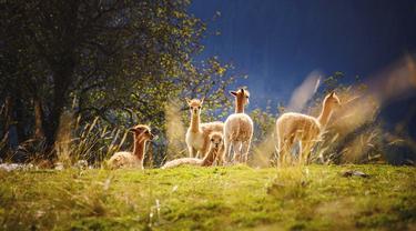 Kawanan hewan llama sedang berkumpul.