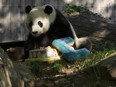 Panda Bei Bei memakan kue ulang tahunnya yang ke-4 di Kebun Binatang Nasional Smithsonian di Washington, DC (22/8/2019). Bei Bei akan pindah ke China setelah berusia empat tahun, menurut perjanjian Kebun Binatang Nasional Smithsonian dan Asosiasi Konservasi Margasatwa China.(AFP Photo/Alastair Pike)