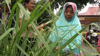 Warga Desa Lupoyo di Gorontalo menanam Serai untuk menghalau nyamuk DBD (Liputan6.com / Andri Arnold)