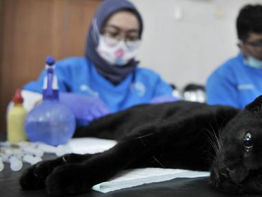 Dinas KPKP Jakarta Timur bersama tim dokter dari Pusat Pelayanan Kesehatan Hewan dan Peternakan saat melakukan sterilisasi atau kebiri kucing jantan di Kantor Kecamatan Duren Sawit, Jakarta, Rabu (27/2). (Merdeka.com/Iqbal S. Nugroho)