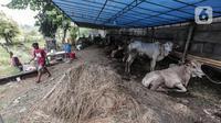 Pedagang hewan kurban mendirikan lapak dagangan di area Pemakaman Tionghoa, daerah Tanah Kusir, Jakarta, Selasa (21/7/2020). Menjelang Hari Raya Idul Adha, pedagang hewan memanfaatkan lahan kuburan untuk berjualan di tengah pandemi Covid-19 yang masih berlangsung. (Liputan6.com/Johan Tallo)
