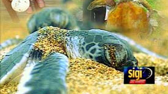 Liputan Com Jakarta Perairan Indonesia Kaya Spesies Ikan Reptil Mamalia Penyu Salah Satunya Tujuh Jenis