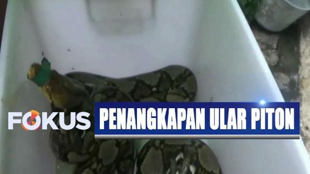 Selama 2 tahun terakhir ini, komunitas Snake Rescue Boyolali setidaknya sudah melepasliarkan ular piton sekira 20 ekor.