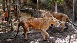 Dua singa mendapatkan semprotan air cuaca panas melanda di Kebun Binatang pribadi di Basra, 340 mil (550 kilometer) tenggara Baghdad, Irak (30/7). Selain cuaca panas, warga Irak juga menghadapi situasi keamanan yang memburuk. (AP Photo/Nabil al-Jurani)