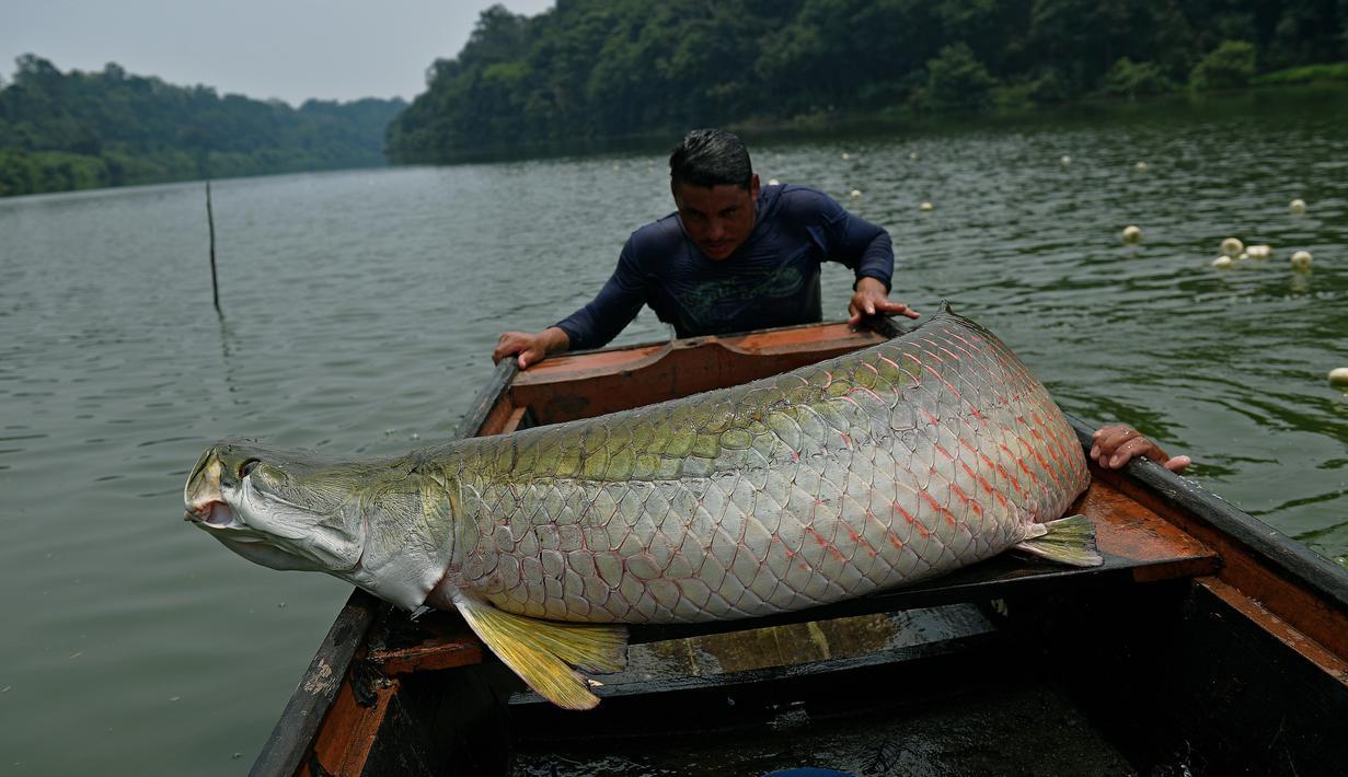 Photo Begini Wujud Ikan Air Tawar Terbesar Di Dunia Dari Amazon
