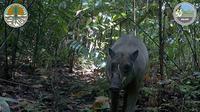 Kamera jebak BKSDA Maluku berhasil menangkap Babirusa yang sempat dianggap mitos (dok.KLHK)