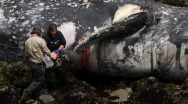 Dua pekerja Pacifica City memeriksa bangkai paus abu-abu yang terdampar di Pantai Pacifica State, California (14/5/2019). Paus mati tersebut merupakan yang kesepuluh ditemukan terdampar di pantai di Wilayah Teluk San Francisco sejak Maret lalu. (AFP Photo/Justin Sullivan)