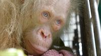 Orangutan Albino (HANDOUT / BORNEO ORANGUTAN SURVIVAL FOUNDATION / AFP)