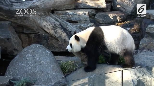 Dua panda, Wang Wang dan Fu Ni diberi suguhan video porno di sebuah kebun binatang di Adelaide, Australia. Alasannya?